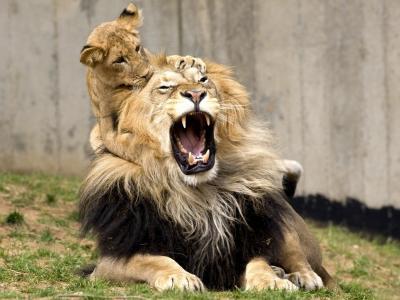 狮子,母狮,家庭生活。