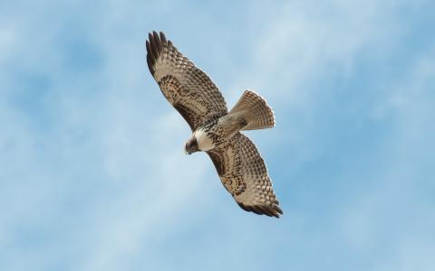 鸟,天空,猎鹰