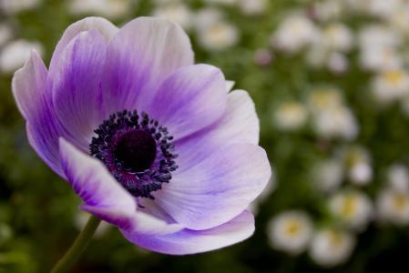 丁香,罂粟,性质,花卉,紫色,花瓣