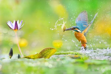 世界鸟类,台湾鸟类,翠鸟,摄影师,富艺陈,池塘,莲花,鱼,喷雾
