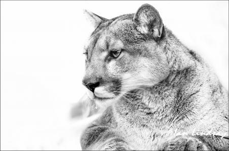黑白照片,chb,caguar,山狮,彪马