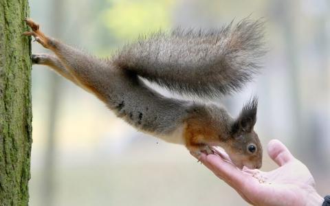 树,松鼠,手,坚果,吃,尾巴