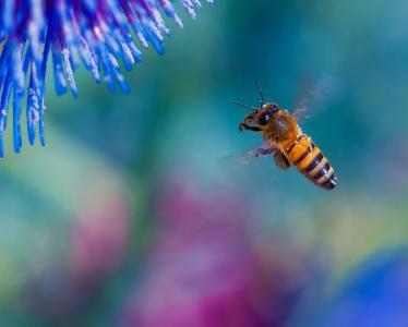 蜜蜂,宏,美女,飞行