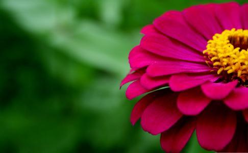 漂亮的百日菊