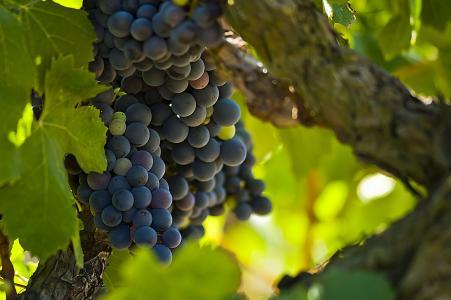 葡萄,一束,浆果,枝,藤,叶,绿色