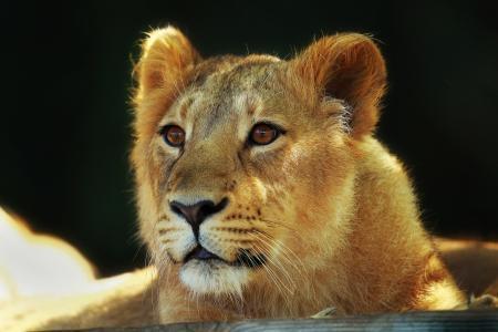 大猫,狮子,枪口,看,狮子