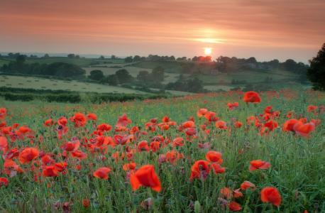 场,罂粟,红色,鲜花,草,树,场,晚上,日落,太阳,橙色,天空