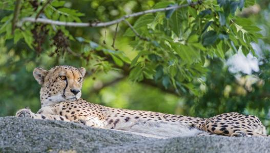 猎豹,动物,捕食者