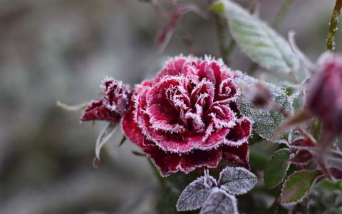 白霜,红色,花,玫瑰,霜,冷,晶体