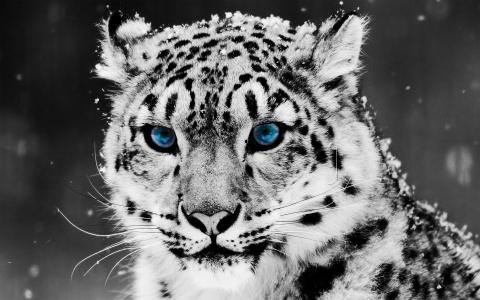 豹,看起来,蓝色的眼睛,美丽