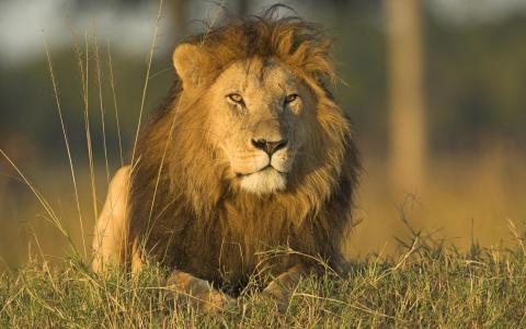狮子,草,野猫,狮子,掠食者,动物