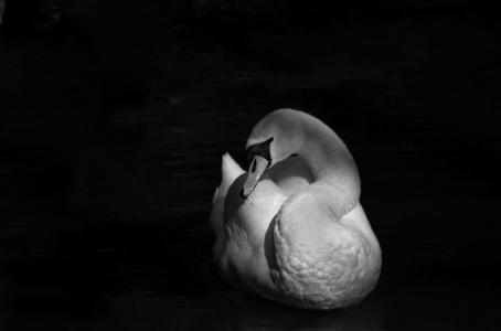 鸟,美丽,世界鸟类,天鹅,黑色和白色