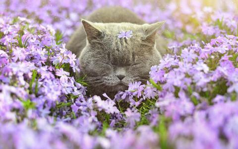 猫,英国,春天,鲜花,宏观照片主题,美丽