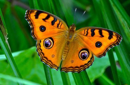 蝴蝶,昆虫,宏