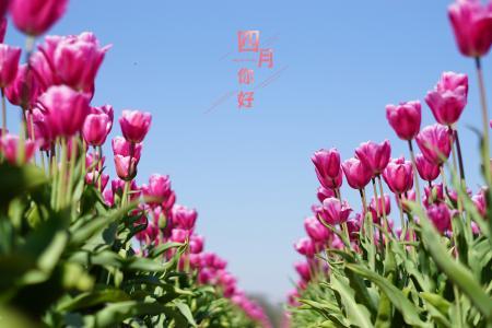 四月的郁金香花海