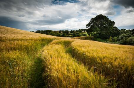 场,性质,夏天,云,小麦,线索,天空