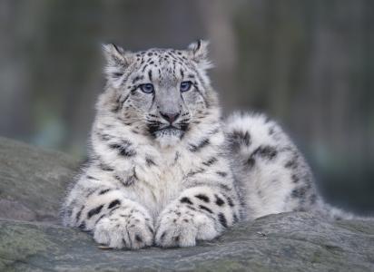 雪豹,说谎,说谎,性质,捕食者,猫,蓬松