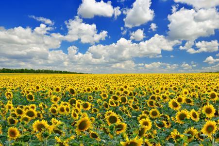 向日葵,场,美女,性质,乌克兰