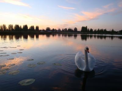 经典,湖,天鹅,晚上,日落