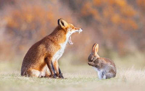 动物,爪子,红发,狐狸,牙齿,耳朵,嘴巴,野兔
