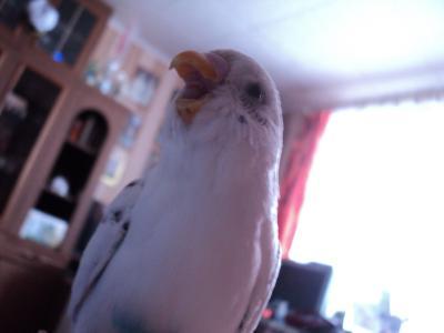 白色,鹦鹉