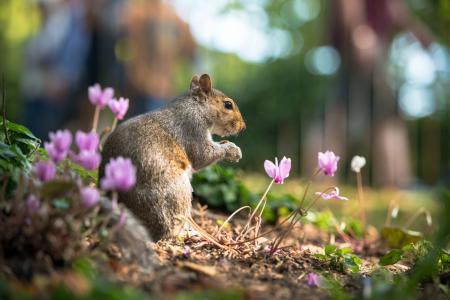 性质,春天,动物,松鼠,鲜花,仙客来