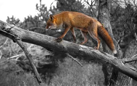 树,狐狸,走