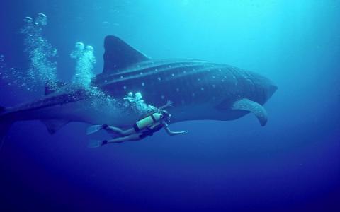 照片,水下,女孩,潜水,海洋,鲸鲨