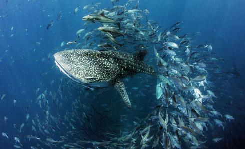 鲨鱼,鲸鲨,海,鱼,潜水