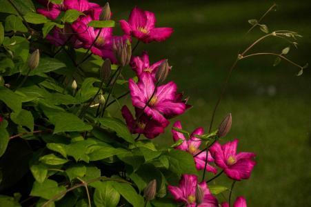 铁线莲,开花,花朵,叶子,布什