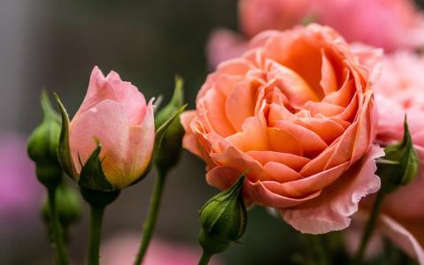 鲜花,玫瑰,芽,宏