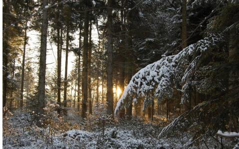 树干,针,森林,树木,树枝,冬天,日落,雪