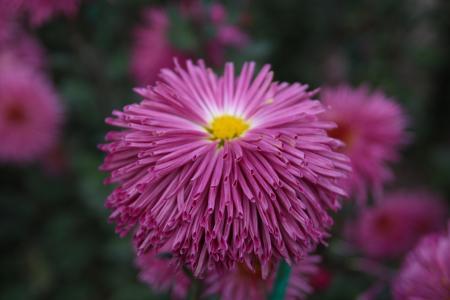 菊花,克里米亚,Nikitsky植物园