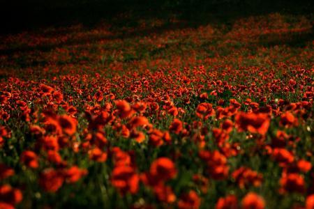 罂粟,领域,红色,鲜花