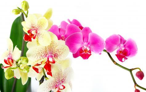 兰花,鲜花,白,背景