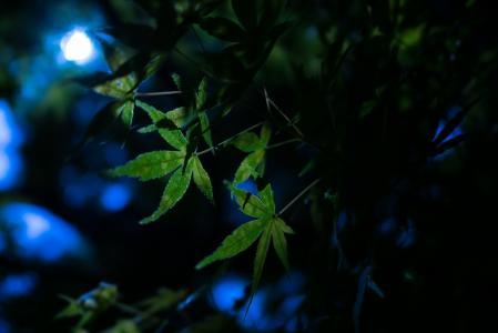 晚上,叶子,性质