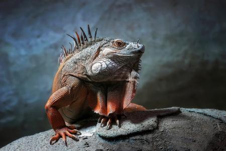 鬣蜥,石头,看,爬行动物,鳞片