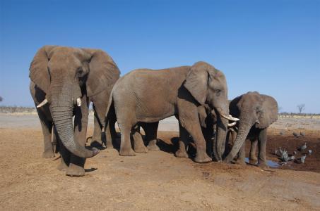 壁纸动物,大象,非洲,干旱。