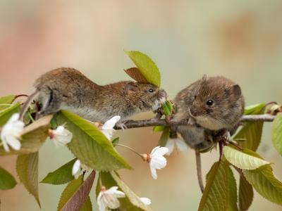动物,动物,鼠标,分支,苹果树