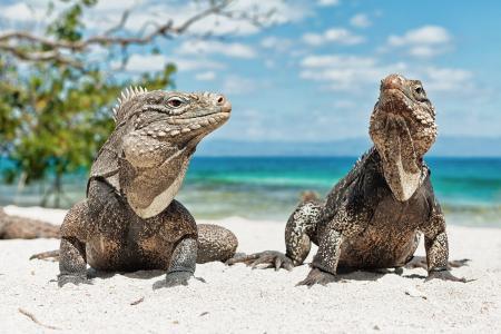 古巴,蜥蜴,海滩,动物,鬣蜥,鬣蜥