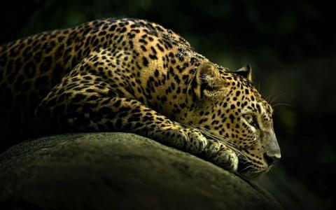 猫,豹,动物,野生,动物