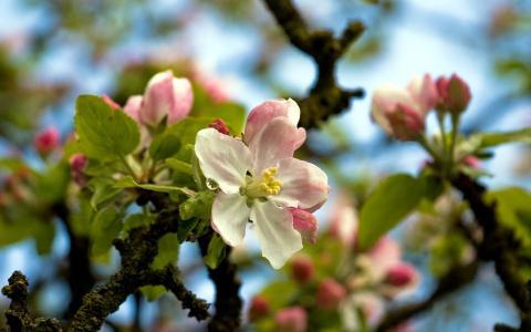 鲜花,苹果,树枝,树木,春天