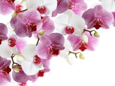 兰花,白色,背景,花