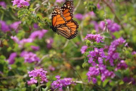 花,蝴蝶,昆虫,性质,宏