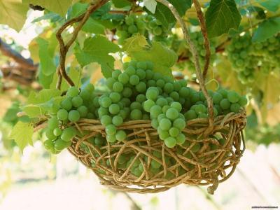 叶子,篮子,串,葡萄,秋天