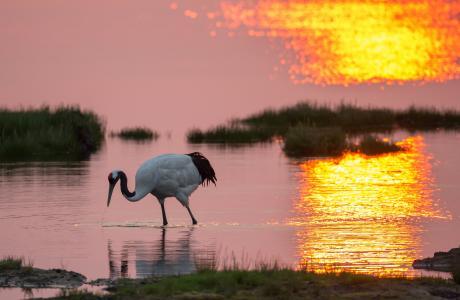 鸟,起重机,湖,日出,早上,寻找食物