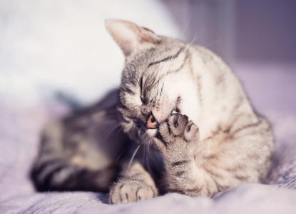 小胡子,猫,爪子,动物