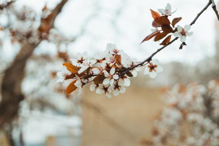 自然,春天,美丽,鲜花,杏