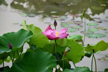莲花,粉红色,叶子,池塘,散景