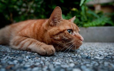 猫,红发,捕食者